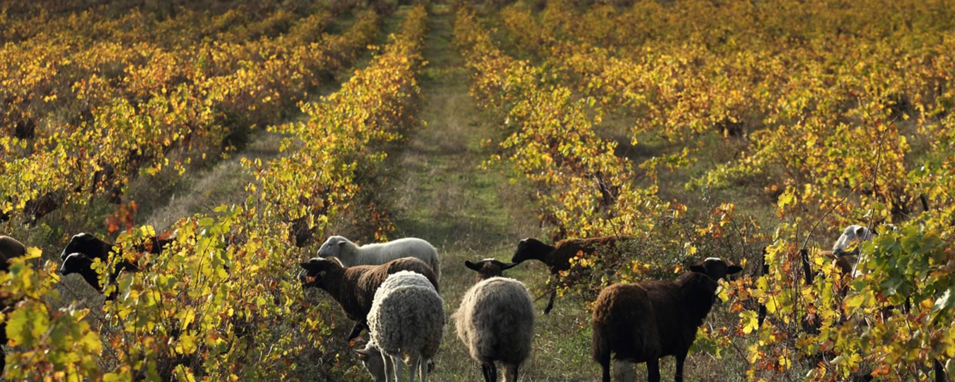 Brebis dans les vignes de Faugères ©G.Souche