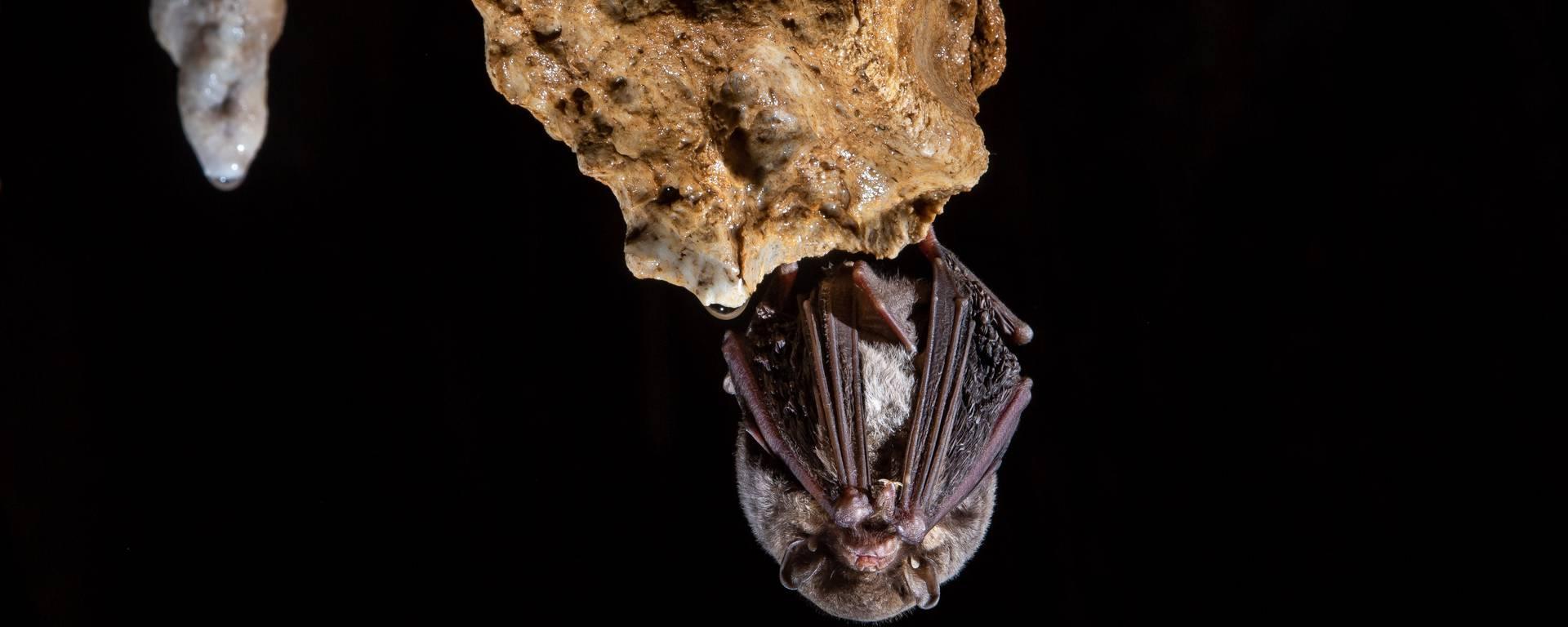 Minioptère de Schreibers / Grotte d'Olquette©A.Alliès-PHLV