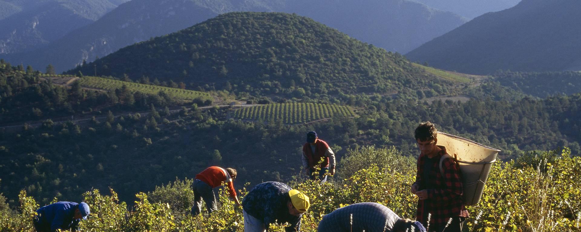 Vendanges Pays d'Art et d'Histoire Haut Languedoc et Vignobles