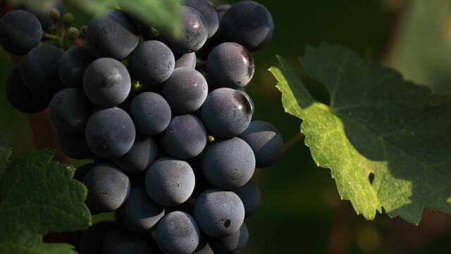 Grappe de raisin ©G.Souche