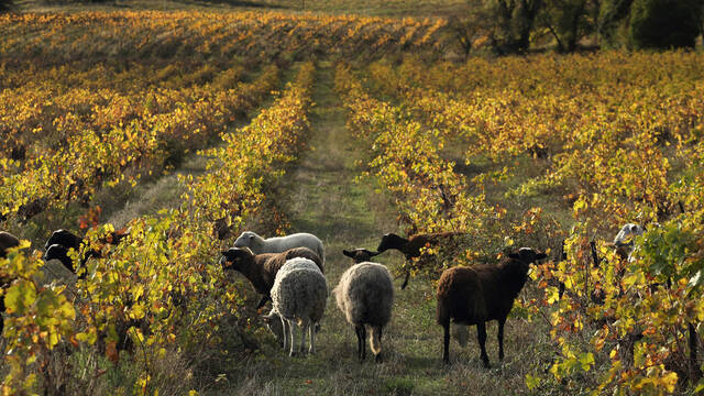 Désherbage bio dans les vignobles de Faugères ©G.Souche