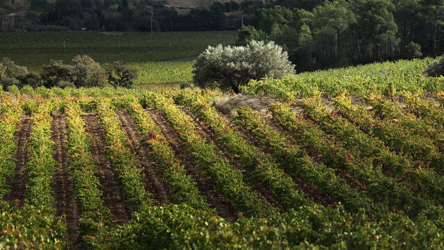 Vignobles de Saint-Chinian et oliviers ©. G. Souche