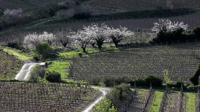 Vignobles et Cerisiers de la Haute Vallée de l'Orb ©.G. Souche
