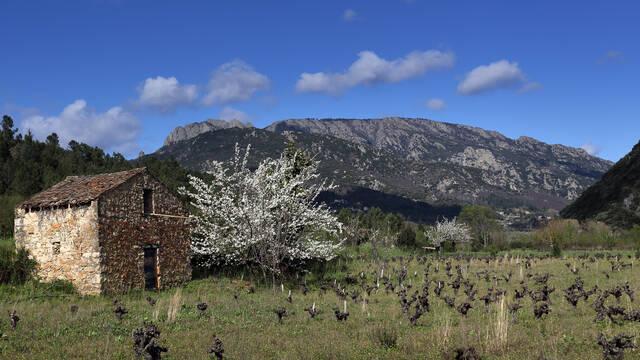 Mazet cerisier Languedoc Sud France