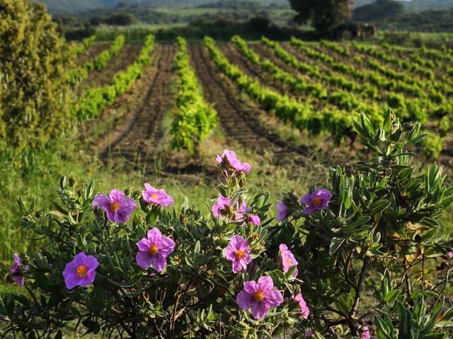 Cystes et vignes ©G.Souche-PaysHLV