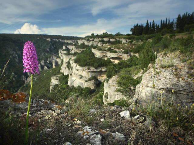 Orchidée à coté des gorges de la Cesse ©G.Souche-PaysHLV