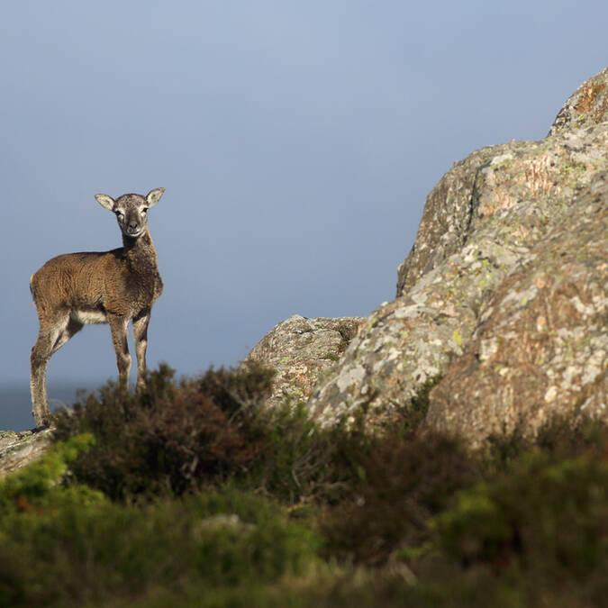 Jeune mouflon du Caroux©G.Souche-PayshLV