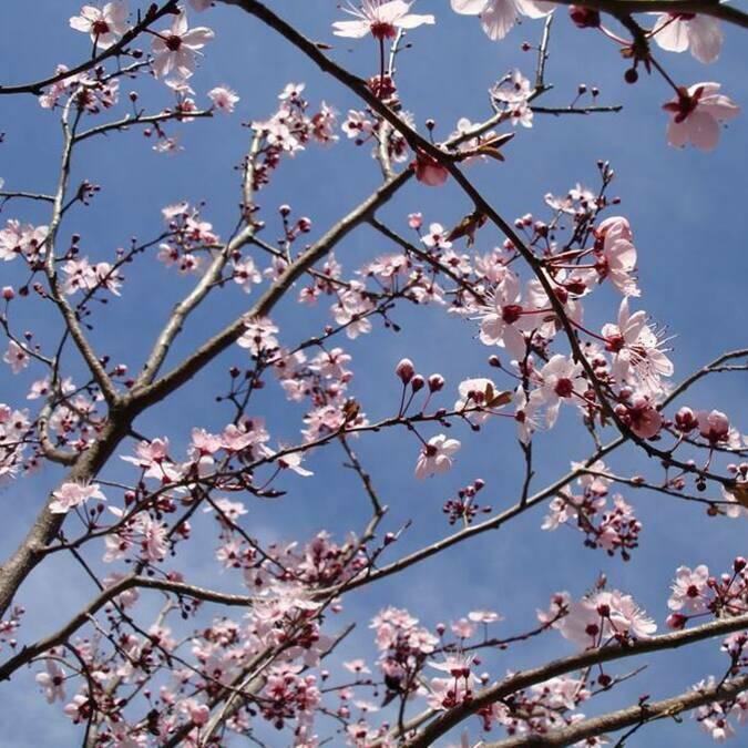 Cerisier en fleurs ©S.Herpson