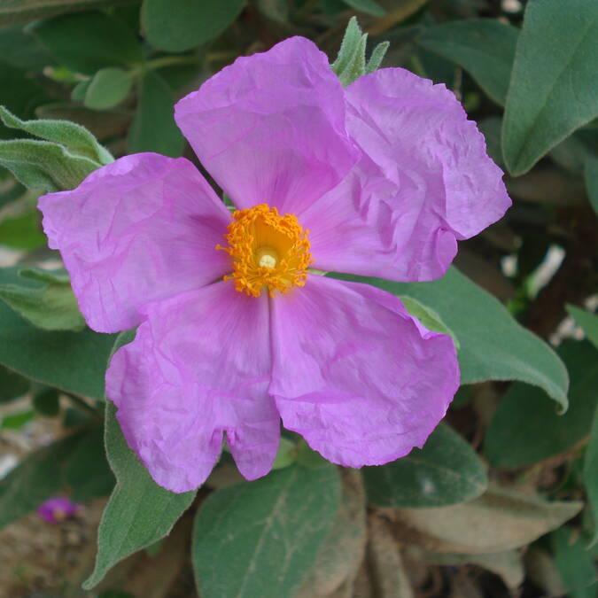 Fleur de Ciste ©AM.Soler