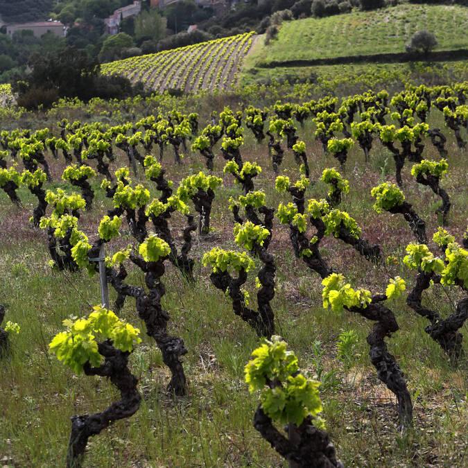Vignoble de Faugères @G. Souche