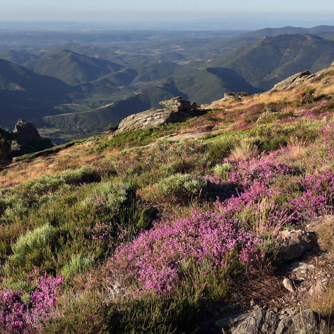 Plateau du Caroux-bruyère