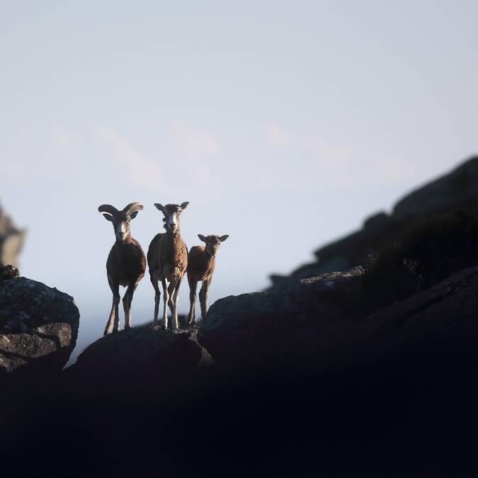 Mouflon languedoc sud France  © G. Souche - Pays Haut Languedoc et Vignobles